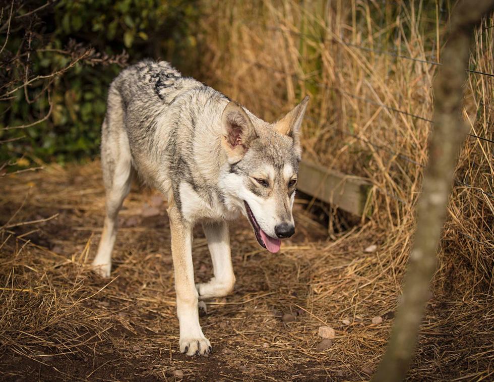 Accalia Saarloos Wolfdogs | Our Girls